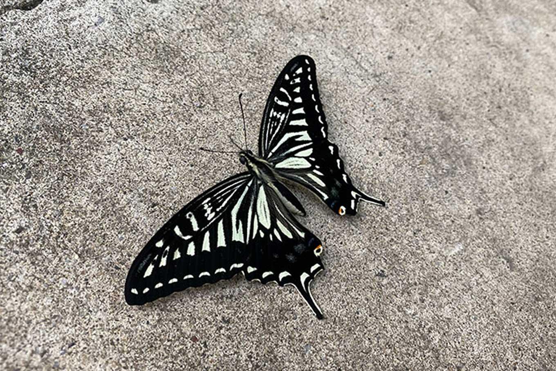 11月でもアゲハ蝶は羽化する