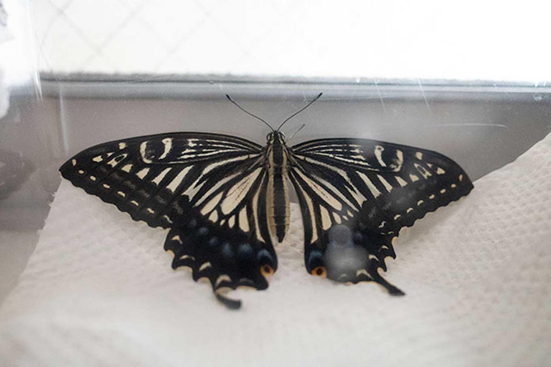 アゲハのタマゴが蝶になるまでの道のりは非常に険しい