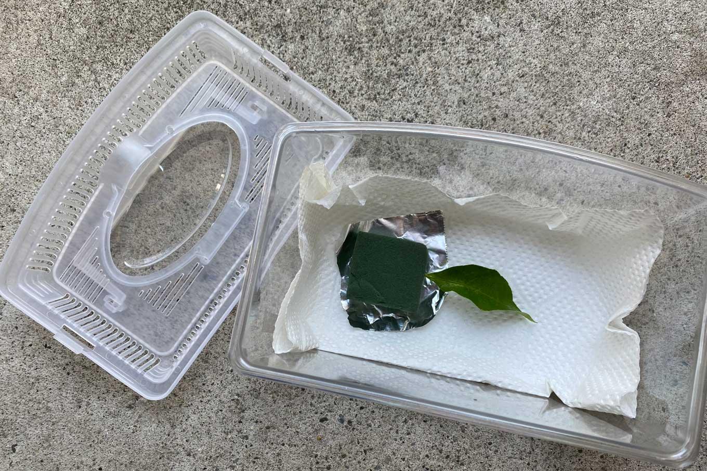 アゲハの幼虫を育てるのに必要なもの