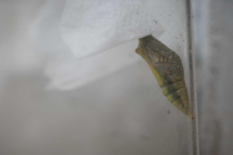 逆さまで前蛹になったアゲハの幼虫